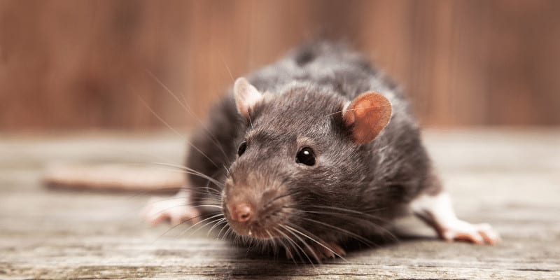 Can You Withhold Rent for Mice What are Your Rights